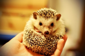 Gendo the Hedgehog (CC BY 2.0 Tiffany Bailey, xshamethestrongx)